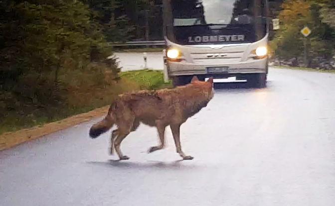 Сбитое животное на дороге : какой штраф вы заплатите