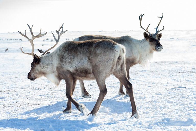 Север меняет оленьи рога на бензин